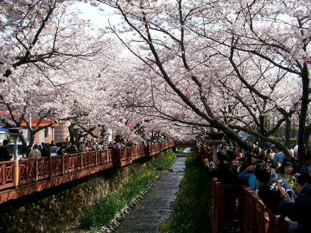 * 진해 군항제 여좌동 벚꽃거리 2011.04.09