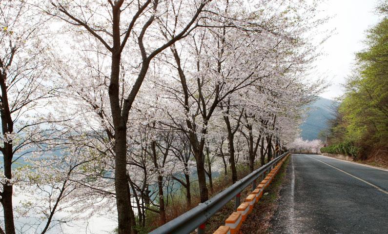 봄이 왔네요~예쁘게 피어있는 벚꽃길