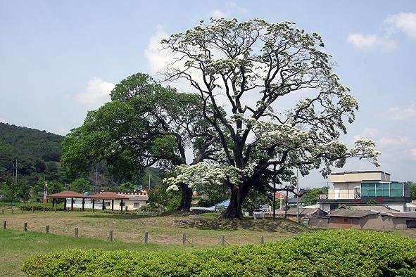 쌀밥 같은 꽃이 핀 양산 신전리 이팝나무