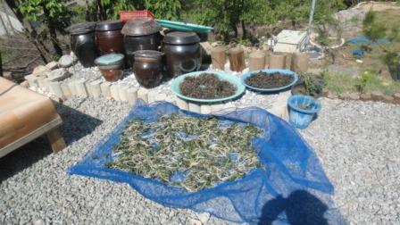 [효소정/효소만들기] 고사리와 장녹잎