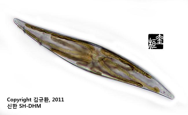부메랑을 닮은 규조 (여름특집 현미경관찰)