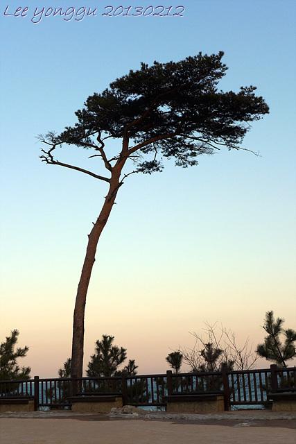 추운 겨울, 낙산사 소나무는...