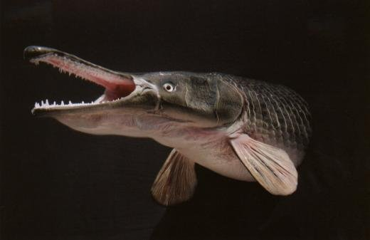 악어잡아먹는 물고기-엘리게이터 가아!