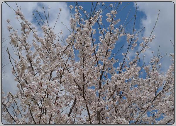 [경주] 벚꽃 그리고 강산면옥의 떡갈비