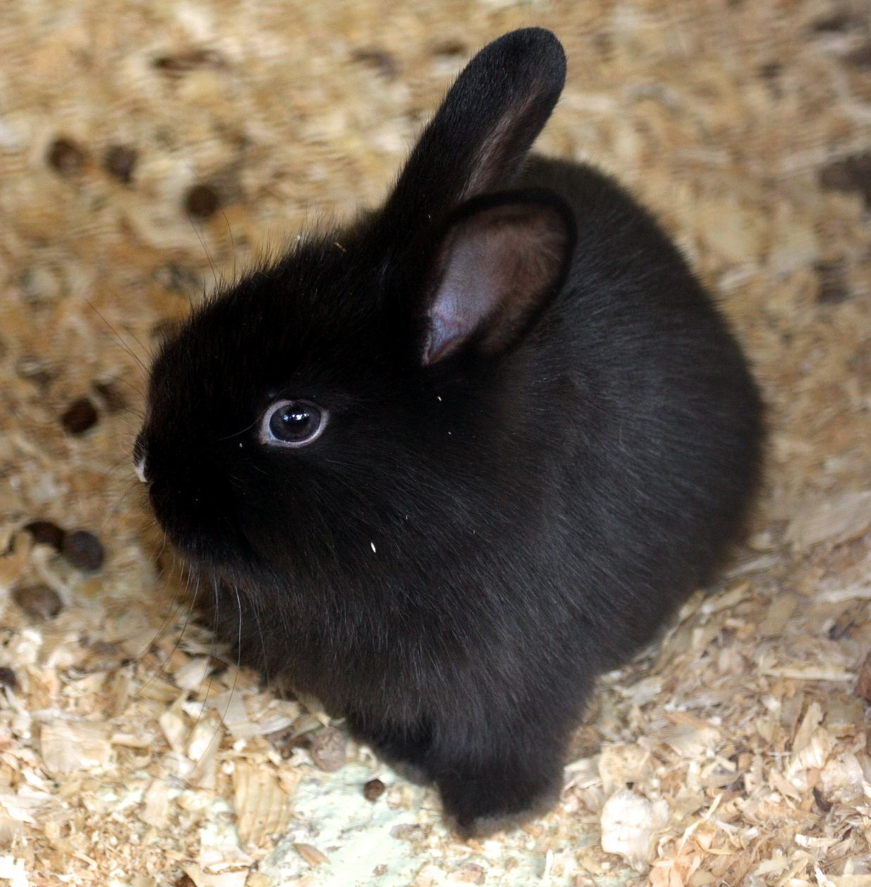 검정 토끼 (Black Bunny)