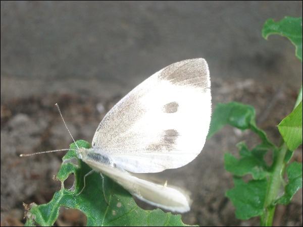 배추흰나비,참검정풍뎅이(추정),비둘기 교미..