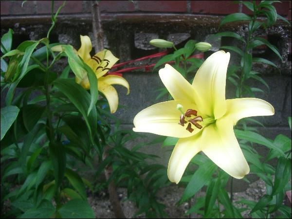 노란 백합꽃, 괭이밥, 밤 골목