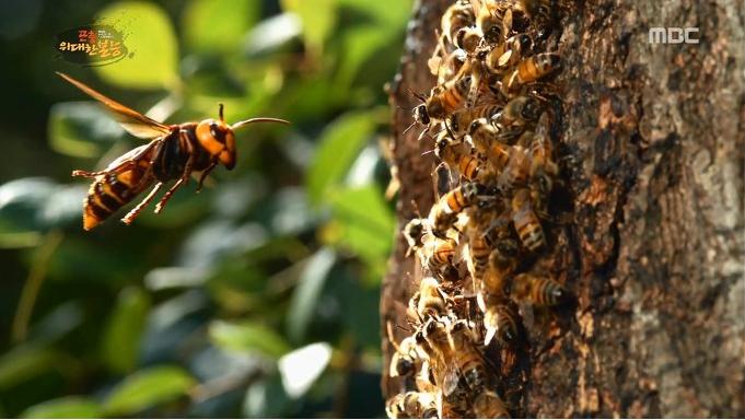 장수말벌 주의보. 벌초 및 야외활동시 벌쏘임 주의