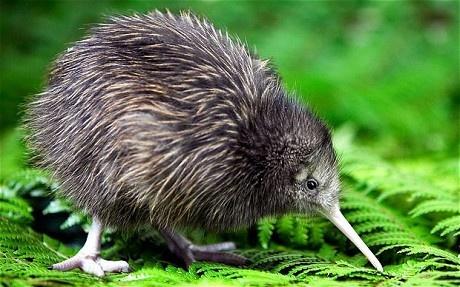 키위새 (Kiwi bird)