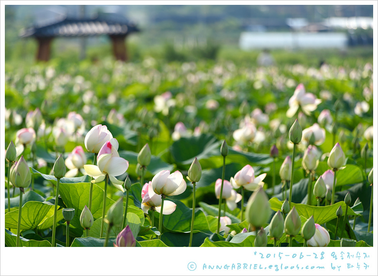 [의왕] 연꽃 봉오리 열전, 왕송저수지