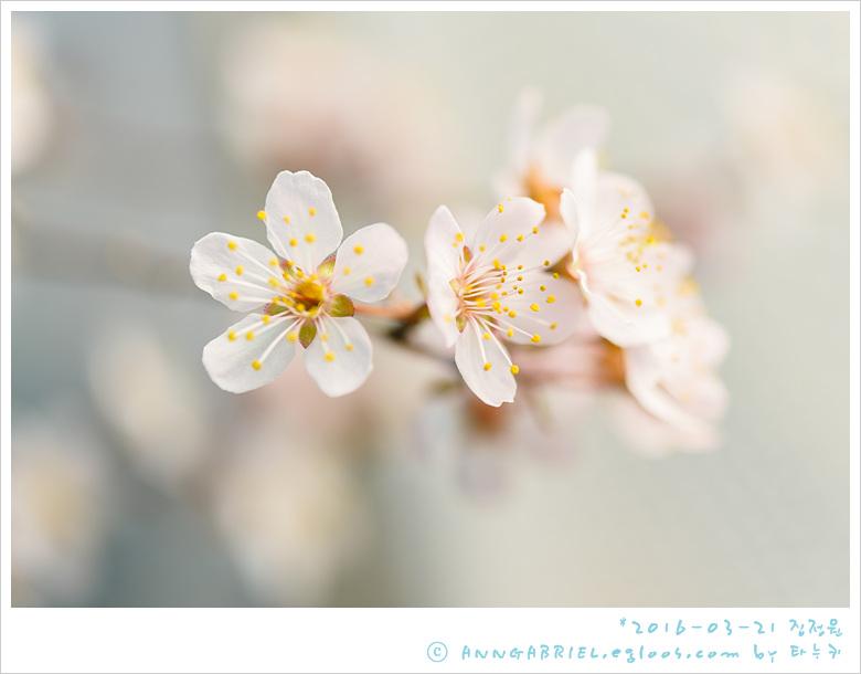 [집정원] 봄, 이른 벚꽃과 천리향