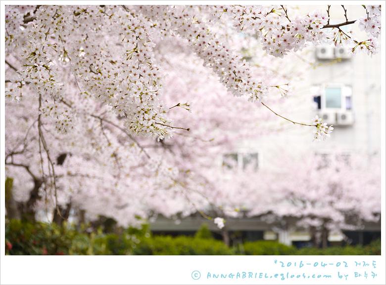 [거제도] 옥포동 분홍 벚꽃