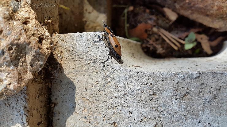네점박이송장벌레