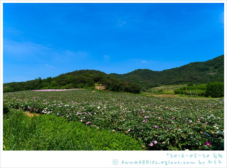 [함평] 작약밭