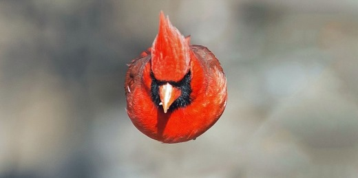 사진에 포착된 앵그리버드 `홍관조(Cardinalis)`