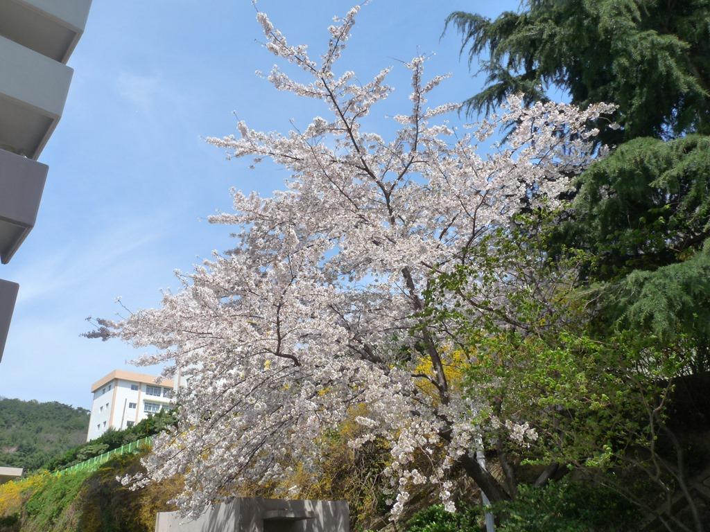 동네 집 주변에 활짝 핀 벚꽃