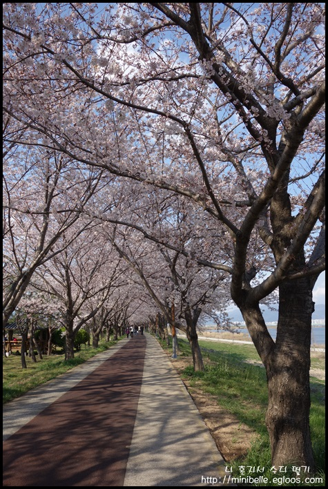 벚꽃길 산책 - 대저생태공원
