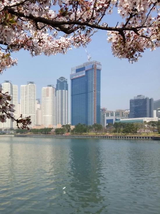 2017 0408 부산 수영강변 벚꽃 폰카