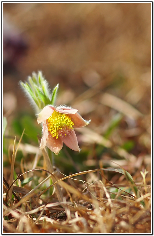 노랑할미꽃