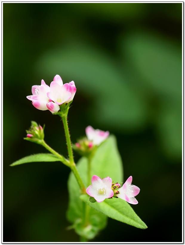 고마리 꽃
