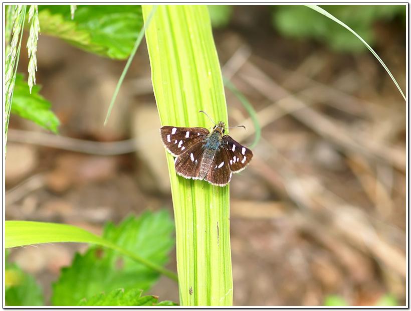 참알락팔랑나비