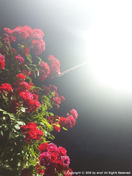 동인천 자유공원, 밤의 장미
