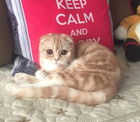 [낭만고양이] 셋째 스코티쉬폴드 고양이 페퍼