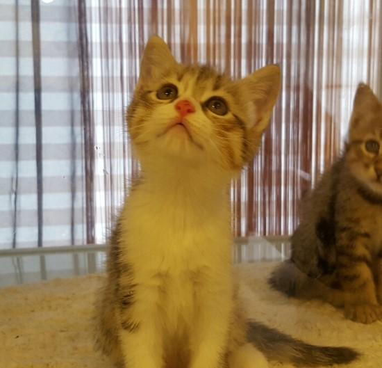 [낭만고양이] 넷째 브리티쉬숏헤어 고양이 썸머
