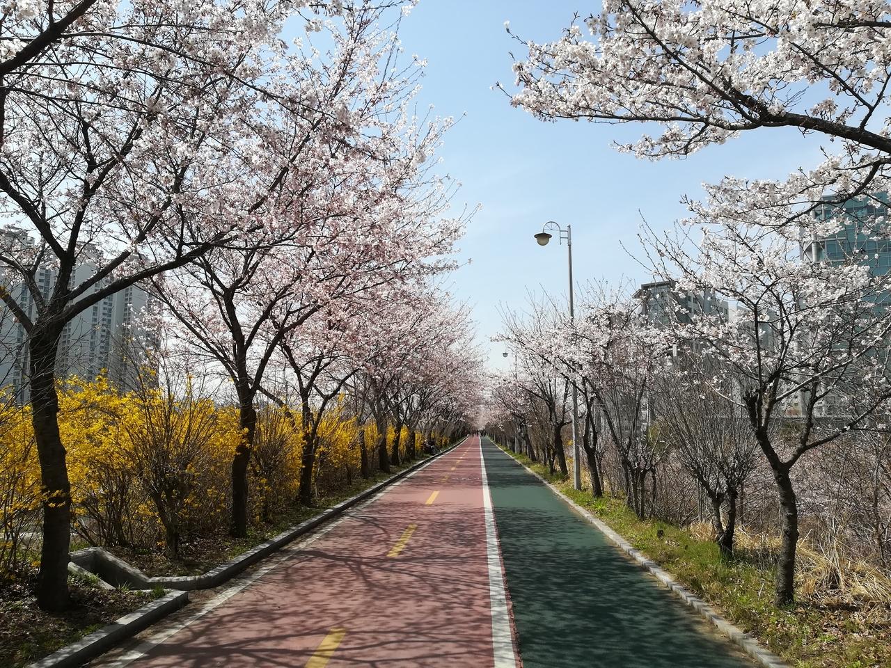 2019 서울 성내천 벚꽃 만발 그리고 내나라 여행박람회