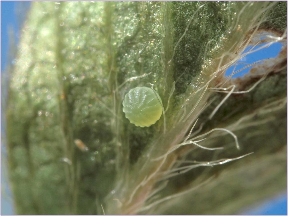 흰점팔랑나비
